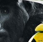 medium_Gorille.jpg